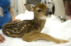 Fawn killed in July 2013 by Wisconsin DNR agents in raid of Wisconsin animal shelter